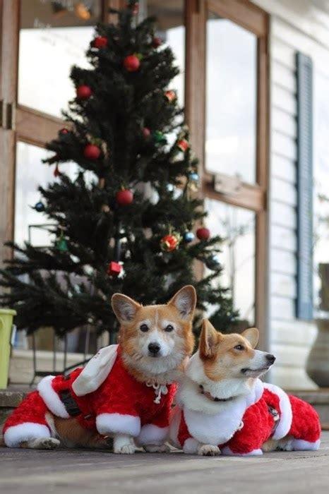 o christmas tree o corgi tree the daily corgi