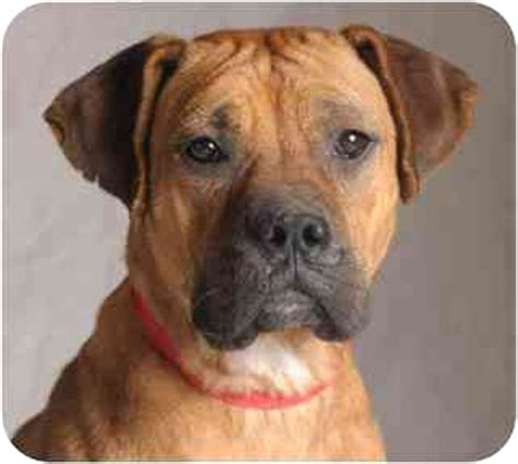 boxmas puppies for sale bullmastiff boxer mix dogs breeds picture