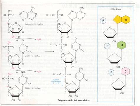 como unir cadenas en php biolog 237 asur 1 7 2 nucle 243 tidos enlace fosfod 237 233 ster