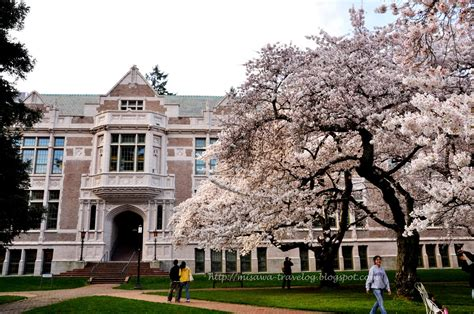 of washington uw travelog cherry blossoms at of washington
