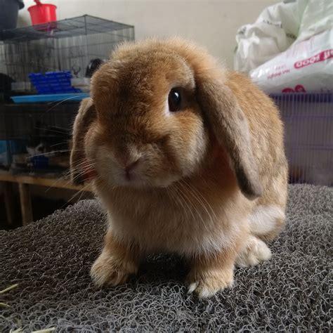 Kelinci Lop peternak kelinci malang kelinci lop