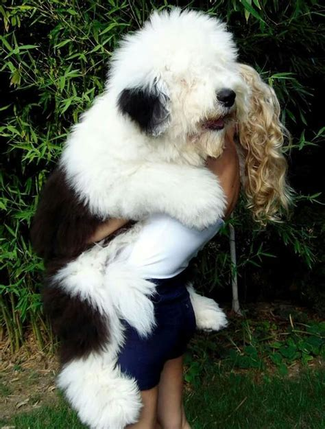 sheep puppies big sweet sheepdog for the future puppys so and