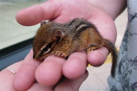 Baby Chipmunk Pictures