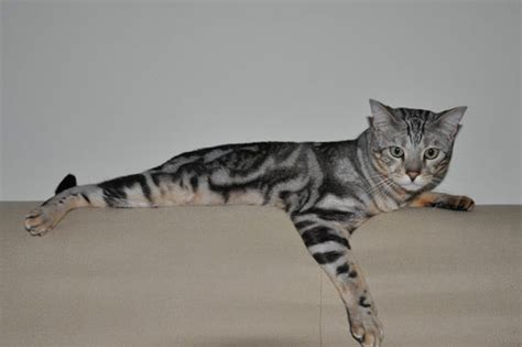 Low Shedding Cats by 11 Cat Breeds That Don T Shed Or Are Low Shedding
