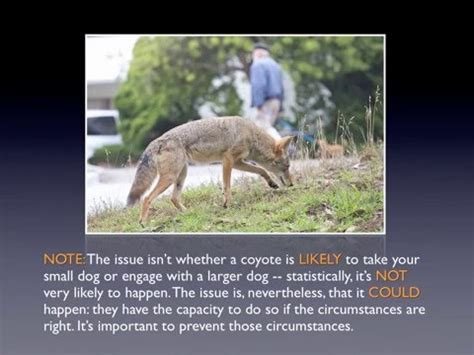 human shoo on dogs coyotes and dogs coyotes and humans and how to shoo a coyote coyote yipps
