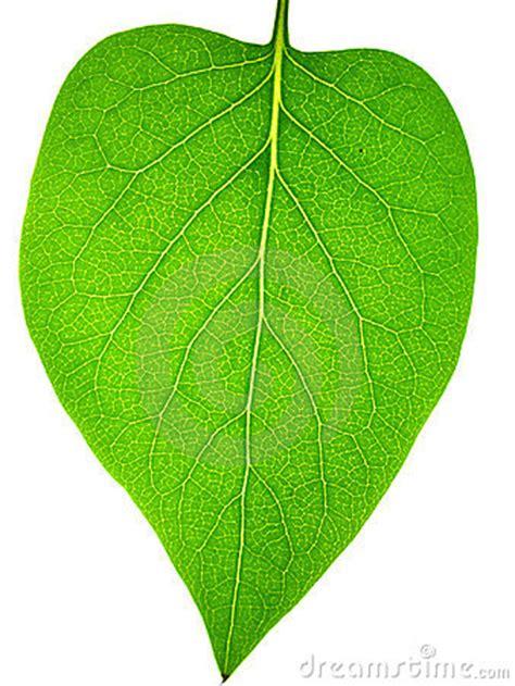 imagenes de hojas verdes solas hoja fotos de archivo imagen 869483