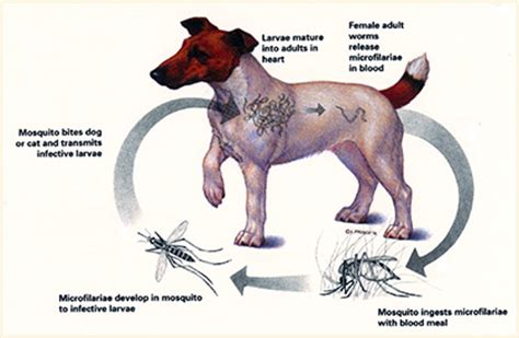 heartworm disease in dogs heartworm disease all pet news