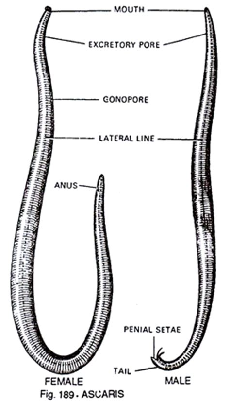 labelled diagram of ascaris structure of ascaris with diagram zoology
