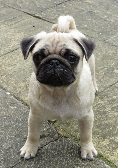 8 year pug chion sired pug puppy driffield east of pets4homes