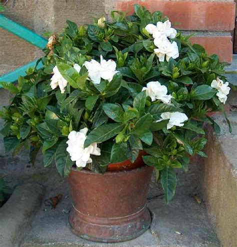 grow care  flower gardenia plant
