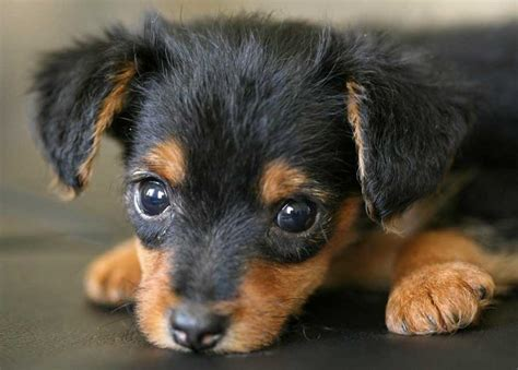 yorkie mixed with dachshund weiner and yorkie mix breeds picture