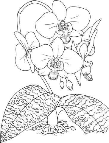 orchid coloring pages phalaenopsis schilleriana or tropical rosy moth orchid
