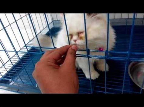Minyak Ikan Buat Kucing how to apply revolution for cat doovi