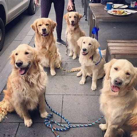 golden retriever losing hair 1000 ideas about gold retriever on dogs