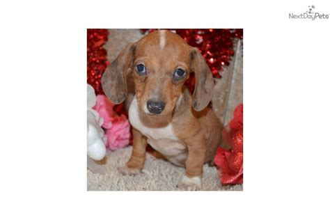 spaniel puppies for sale near me dachshund puppies for sale near me for 300
