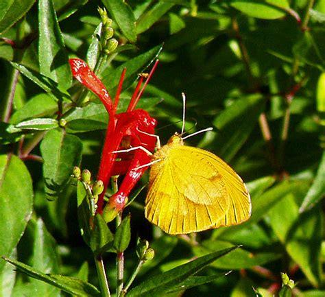 hummingbird plant plantanswers plant answers gt hummingbird bush