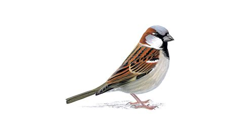 Forest House by House Sparrow Bird Facts Passer Domesticus The Rspb