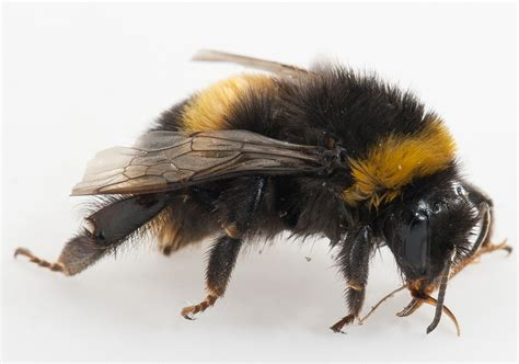 Bumble bee | Agriculture and Food
