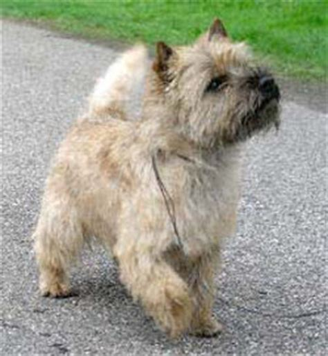 brindle cairn haircut area of cute puppy pictures