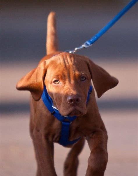 vizsla puppies for sale az 15 best vizslas images on arizona dogs and vizsla