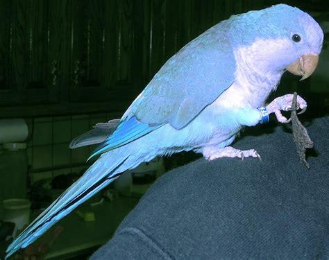 quaker color blue quaker parrots quaker parrot color variations