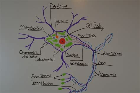 what part of a neuron houses the nucleus study notes for anatomy physiology neuron structure function