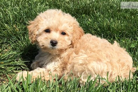 goldendoodle puppy for sale md goldendoodle puppy for sale near baltimore maryland