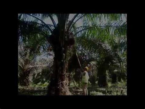 Mesin Egrek Sawit Tanika clip hay alat panen kelapa sawit ctph0azu m8 xem