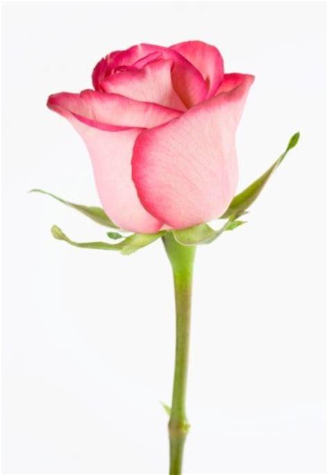 imagenes de flores o rosas 161 d 237 selo con flores desciframos cu 225 l es su significado