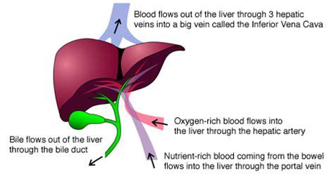 liver anatomy diagram liver diagram liver free engine image for user