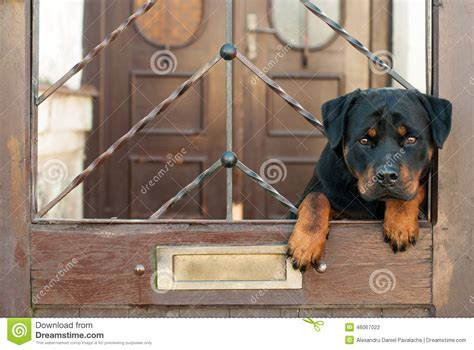 dog house for rottweiler rottweiler sitting on gate stock photo image 46067022