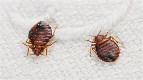 how bed bugs spread could your dirty laundry help spread bedbugs today com
