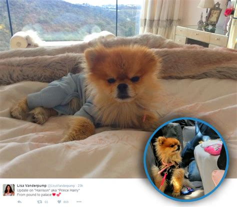 hair loss in pomeranian dogs real of beverly gets new alopecia