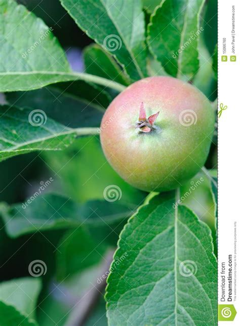 green apple british and green english apple with red blush ripening stock photo image 15066760