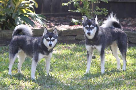 alaskan klee info temperament puppies care pictures