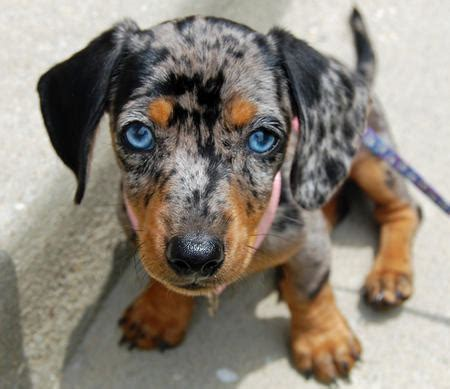 blue dachshund puppies for sale the dachshund puppies daily puppy