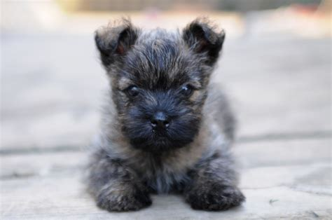 cairn terrier puppy puppies cairn terrier puppies puppies for sale