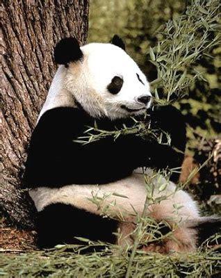 oso panda oso panda 0805087567 oso panda oso panda gigante