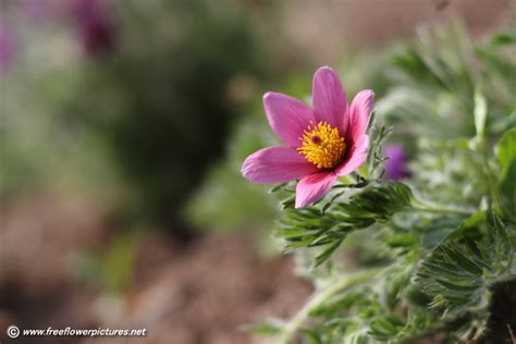 image for flowers pasque flower picture flower pictures 5885