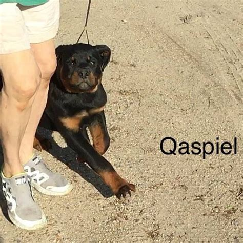 ivoss rottweilers gch gordon s puppies ivoss rottweilers