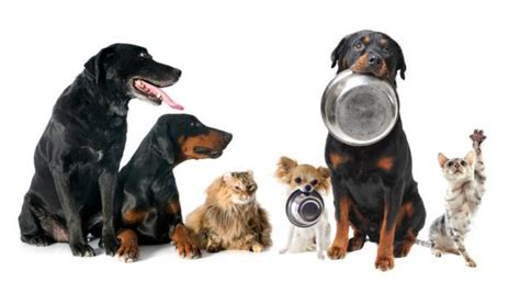 how much to feed a boxer puppy how much food to feed my 9 steps with images