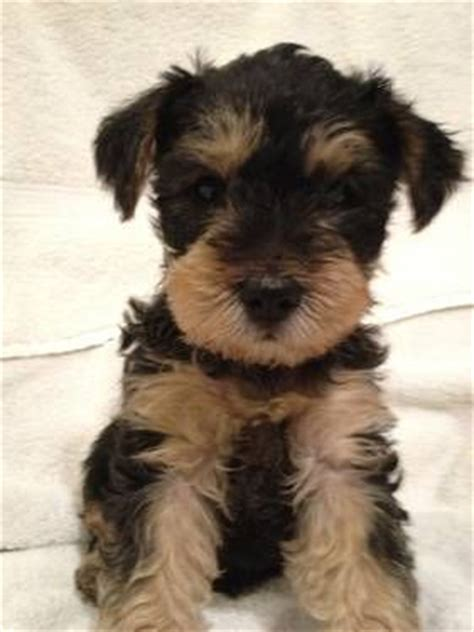 yorkie schnauzer mix for sale snorkie puppy schnauzer yorkie mix lovable friends