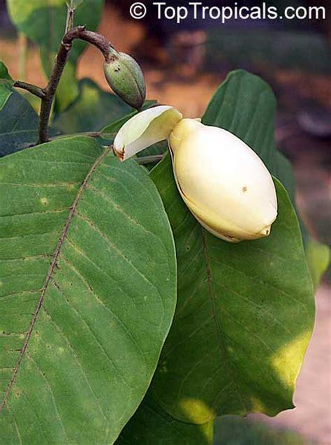 tropical magnolias toptropicalscom