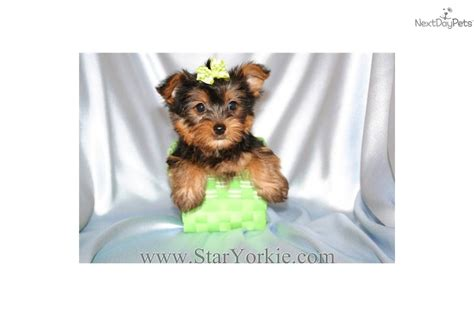 yorkie breeders in las vegas terrier hairstyles