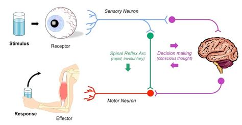 diagram of reflex reflex arc diagram explanation choice image how to guide