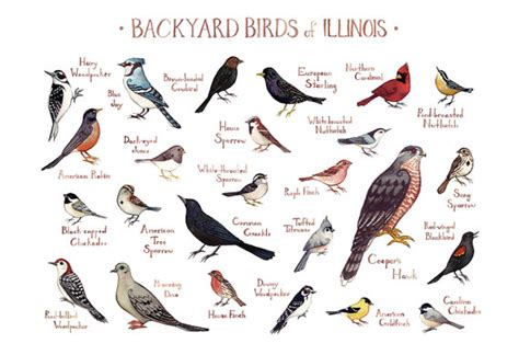 illinois backyard birds field guide art print watercolor