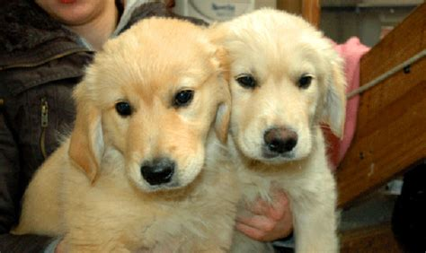 golden retriever growth pictures breed breed information pets buy pet products upmarket pets