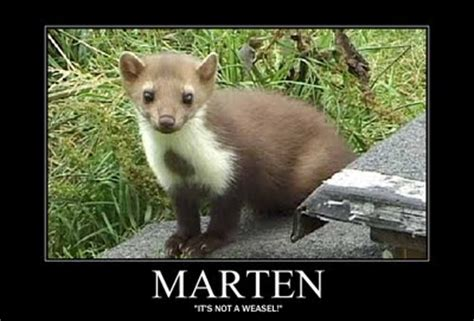 Weasel Meme - it s not a weasel fuck you i m a marten meme involves my
