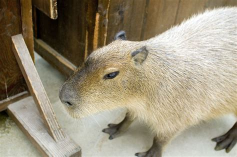 Japanese Big by Capybaras Are Getting Big In Japan