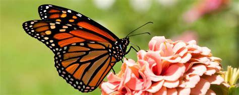 imagenes de mariposas de verdad salvemos a la mariposa monarca y a nuestro ecosistema